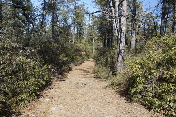 Short path to Bear Swamp Hill is lined with rhododendron