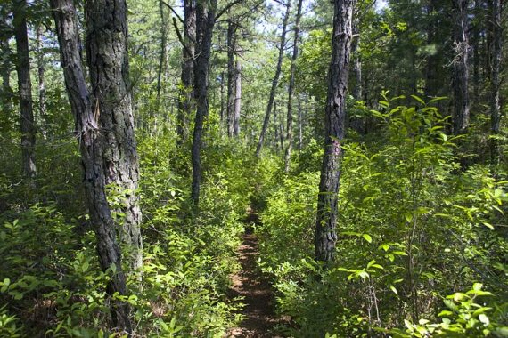 Pine Forest with trail