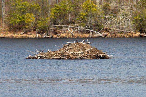 Close up of a beaver lodge on a lake