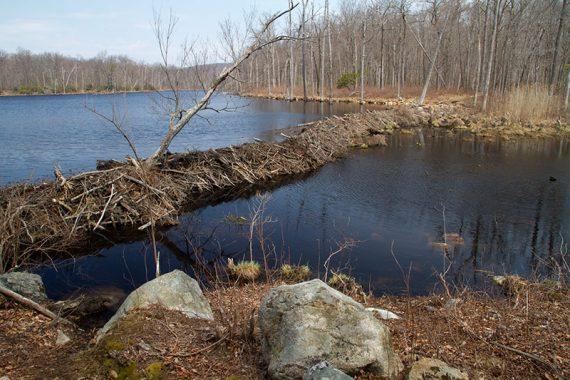 Beaver dam on Lost Lake
