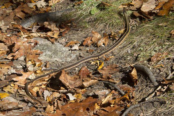 Eastern Ribbon Snake