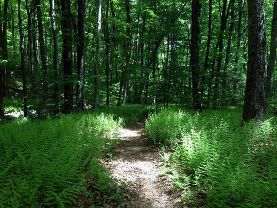 Trail with ferns on either side