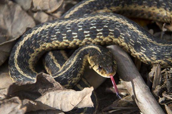 Eastern garter snake!