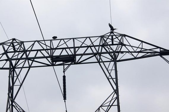 Turkey Vultures on a power line