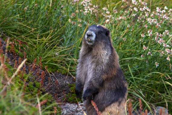Olympic marmot in Badger Pass