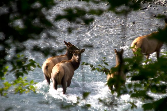 Elk on Hoh River Trail