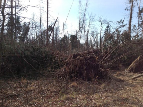 Just some of the Red Pine Grove blow-downs