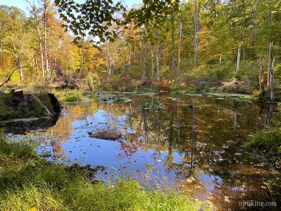Small wet area with a beaver dam surrounded by forest