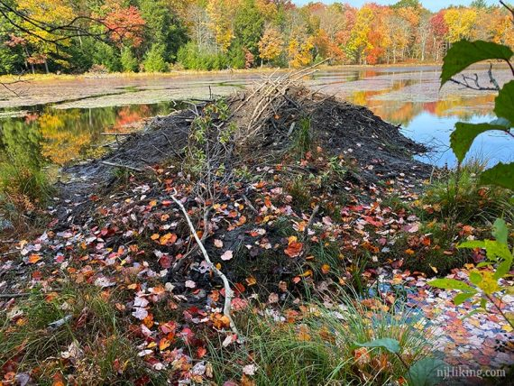 Beaver dam with sticks and leaves on top
