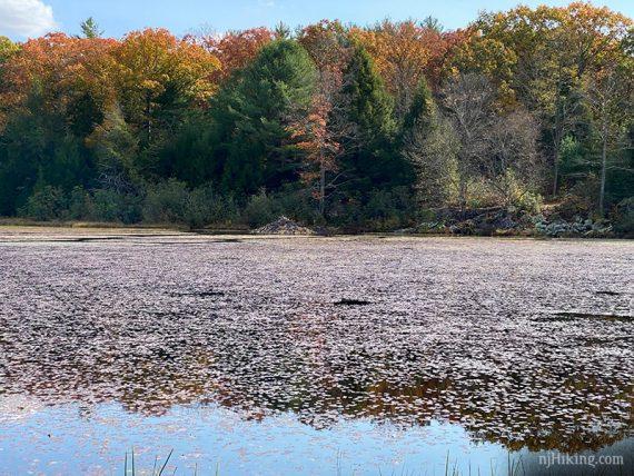 Beaver dam visible across a lake