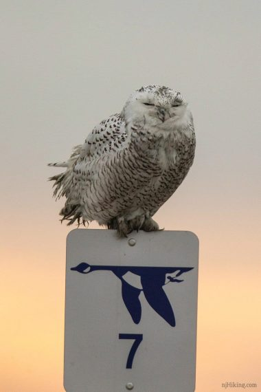 Snowy owl with eyes closed sitting on mile marker sign