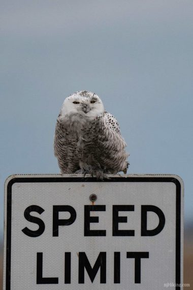 Snowy owl sitting on a speed limit sign