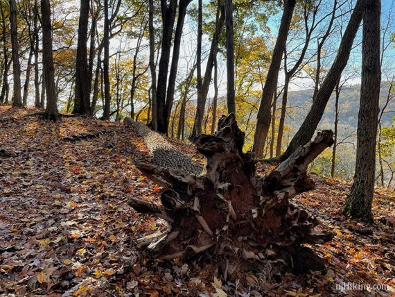 Large fallen tree roots