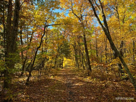 Wide flat path surrounded by yellow foliage