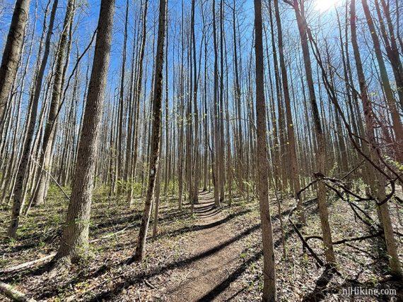 Path through tall skinny trees