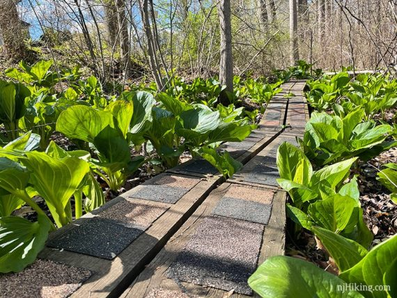 Plank boardwalk surrounded by skunk cabbage