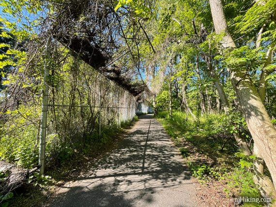 Paved trail with tall vine covered chainlink fence on the side