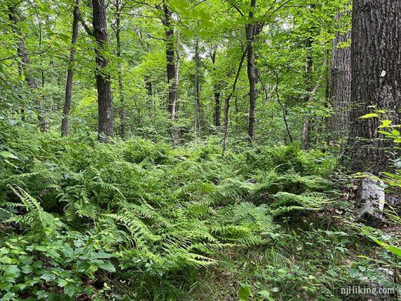Ferns covered a trail
