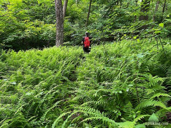 Hiker on a fern covered trail.