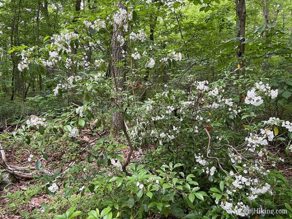 Mountain laurel thickets