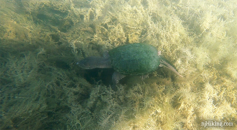 Snapping turtle under water on vegetation
