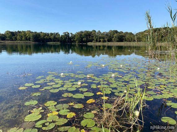 Lily pads on a lake