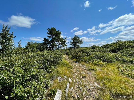 Rocky trail with two tall trees flanking it