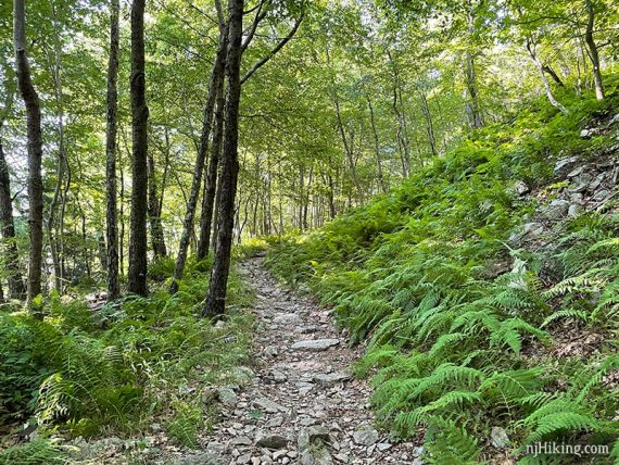 Ferns lining the sides of a rocky trail