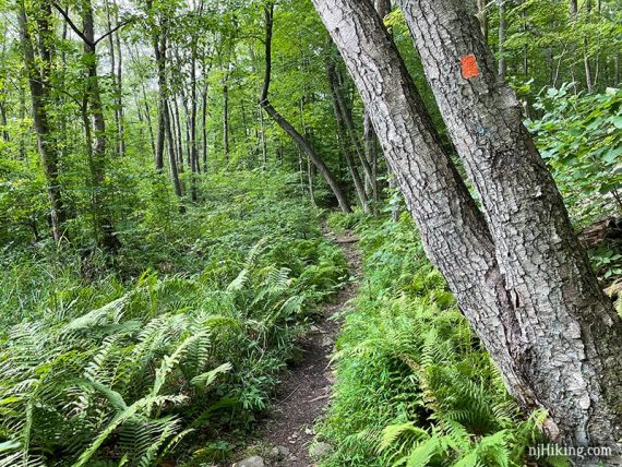 Ferns on either side of a trail