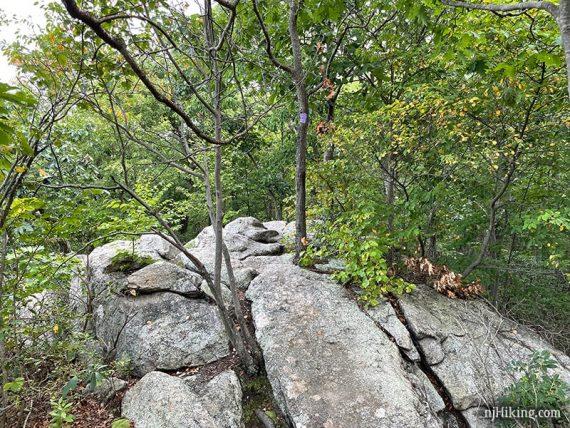 Purple trail marker on a tree in a rock slab