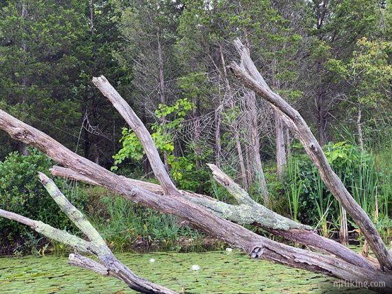 Large spider web in fallen tree in a lake