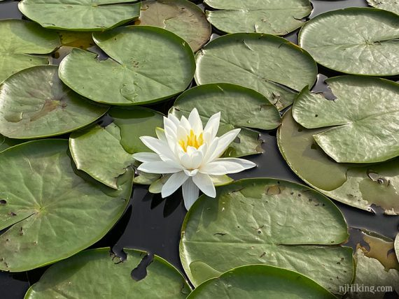 White flower on lily pads