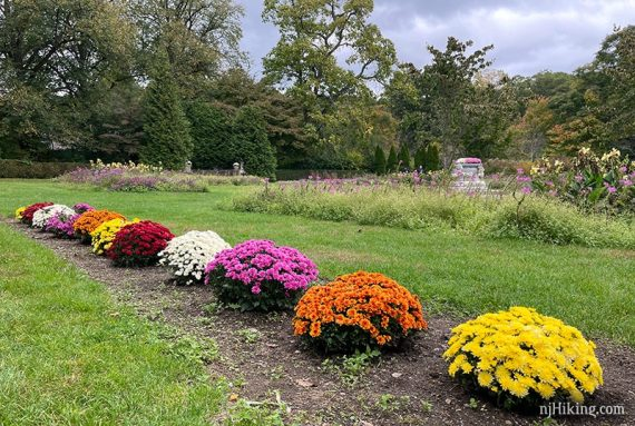Mums of several different colors at the edge of a garden