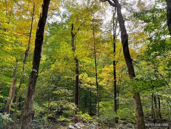Yellow fall foliage on a group of trees